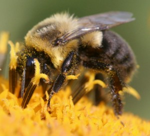 Plight of the Bumble Bee, & How To Eat Veg at Omni Restaurants