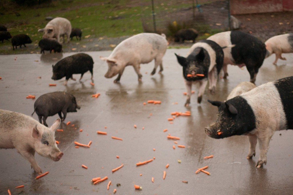 Feeding the pigs!    Photo by Alissa Raye