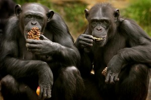 Granting chimpanzees the status of personhood, and the Animal Alliance Environment Voters Party of Canada