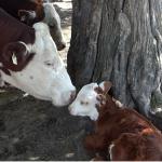 cow-w-calf