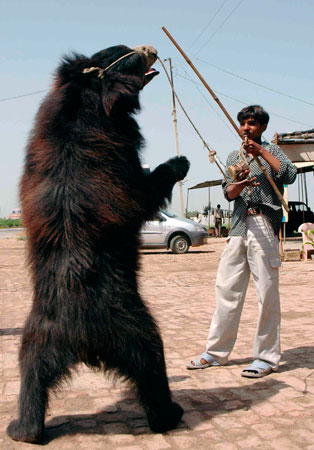 Dancing Bears in India, and New Codes of Practice for the Care and Handling of Farm Animals in Canada