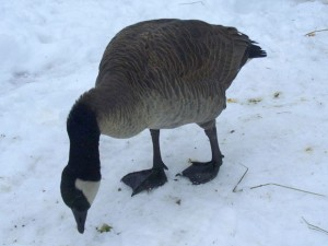 A Happy Ending for Lucy, the Goose; Melissa Balfour on The New Veganminster Project