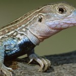 Many species of whiptail lizards are female only, with the ability to reproduce without sperm. They often engage in same sex pairings.
