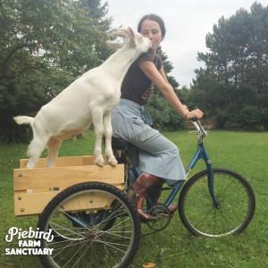 sanctuary_goat_jollygood1
