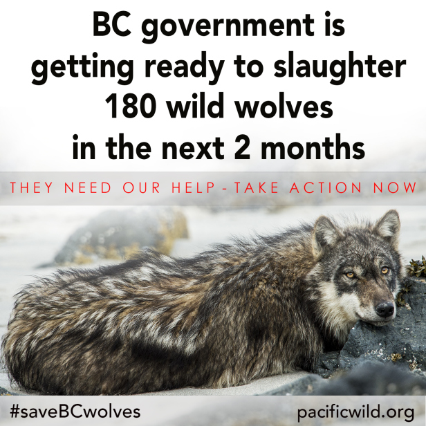 The B.C. Wolf Cull, and The Inherent Cruelties (and Politics) of Foie Gras