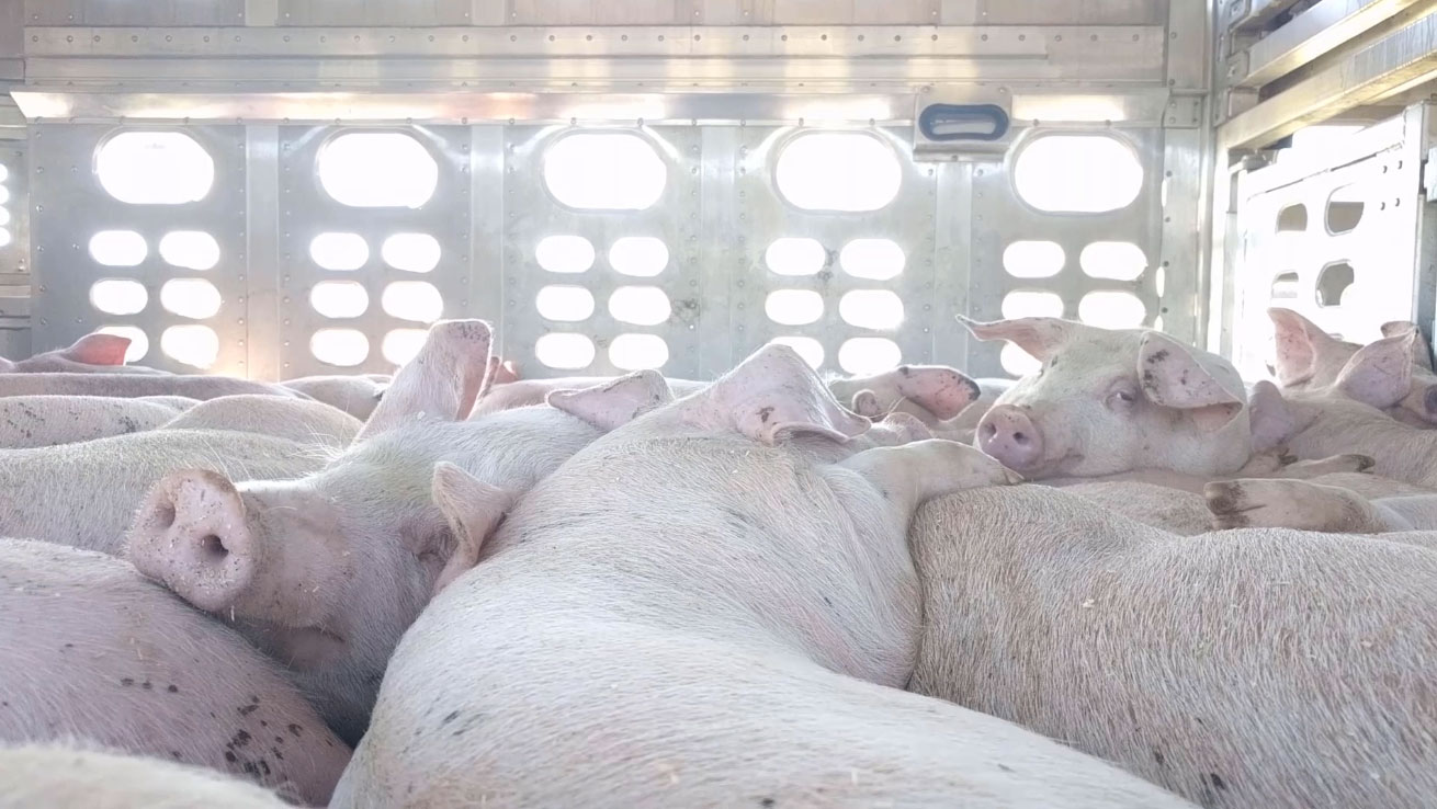 Dairy and Egg Industry Disguising Advertising as Nutrition Education and Local Activists Expose Pig Transport Cruelty