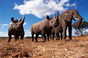 Black rhinoceros {Diceros bicornis} and Africa elephant {Loxodonta africana} Africa