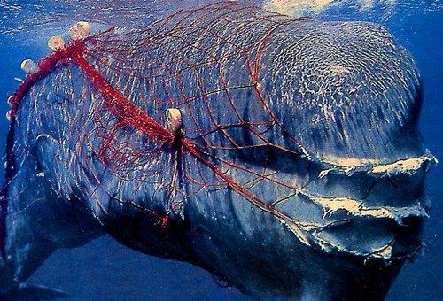 whale driftnet